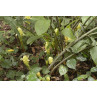 Huile essentielle gingembre bio