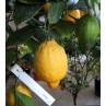Huile essentielle Citronnier zeste Pranarom