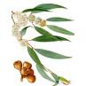 Huile essentielle eucalyptus radié bio