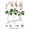 Huile essentielle gaulthérie odorante bio