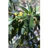Huile essentielle litsée citronnée bio