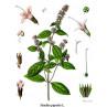 Huile essentielle menthe des champs bio