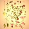 Huile essentielle thym à feuilles de sarriette bio